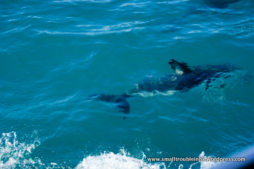 dolphins are my favorite sea animals. these are dusky dolphins - swimming along with the bed trying like as though they are trying to tease us into a game of hide and seek